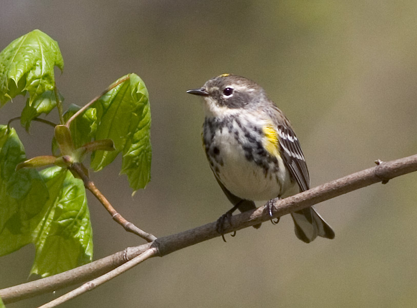 Related Keywords & Suggestions for Yellow Rumped Warbler Female