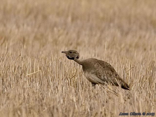 http://www.wildbirdgallery.com/images/birds/eupodotis_vigorsii/vigorsii2.jpg