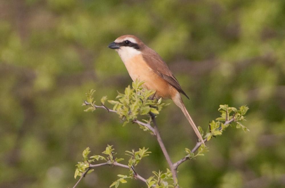 Brown Shrike (Lanius cristatus lucionensis) - Index - Gallery - Wild ...