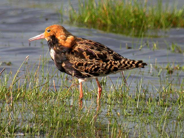 Ruff and Reeve (Philomachus pugnax) - Index - Gallery ...