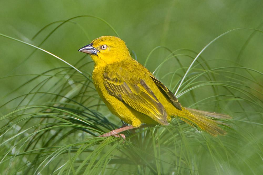 http://www.wildbirdgallery.com/images/birds/ploceus_xanthops/xanthops_20100314_6260.jpg